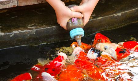 gaping: Feeding Koi from a babys bottle in Huahin Safari Park, Thailand