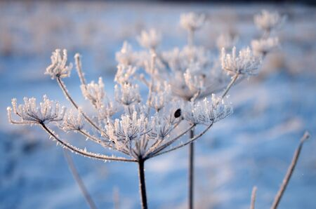 coldness: The cow-parsnip in winter Stock Photo
