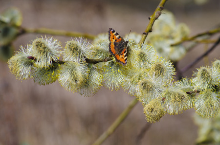 catkins: Pussy-willow branches with catkins and butterfly Stock Photo