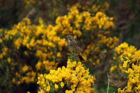 thrush: Single thrush on gorse in Scotland, UK