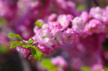 physiological: Flowering branch of peach