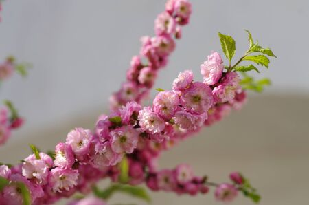 almond bud: Flowering branch of peach