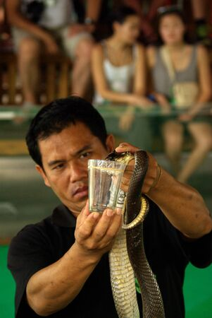 PATTAYA, THAILAND - January, 2013: Show of snakes, performer collects the poison of a Cobra during a show
