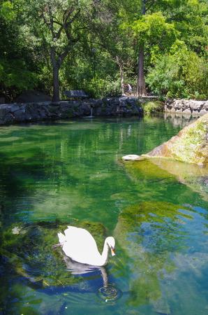 ALUPKA, CRIMEA-June, 2018: Swan in the garden of Vorontsov Palace 版權商用圖片
