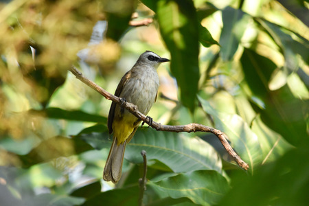 Yellow-vented Bulbul is a common bird in South-east Asia. Found mostly near cultivated areas, gardens, parks, mangroves. Feed mostly on fruits and berries.