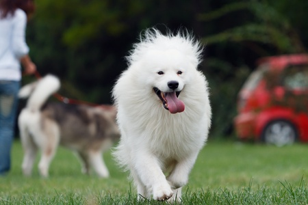 Happy dog running at the field Stock Photo