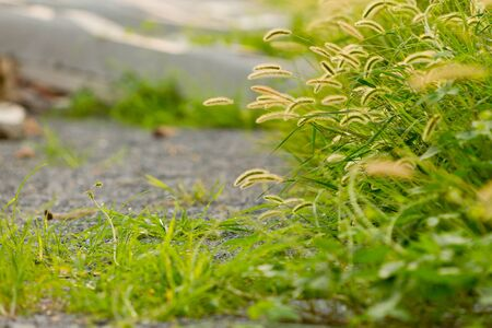Setaria growing on the roadside Stock Photo - 88545310