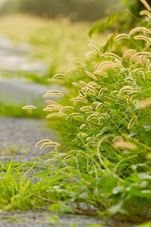 Setaria growing on the roadside Stock Photo