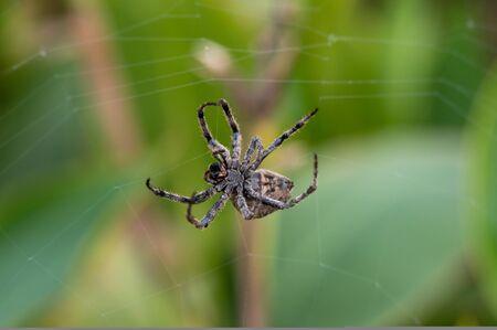 A giant tarantula, it spins a web Stock Photo