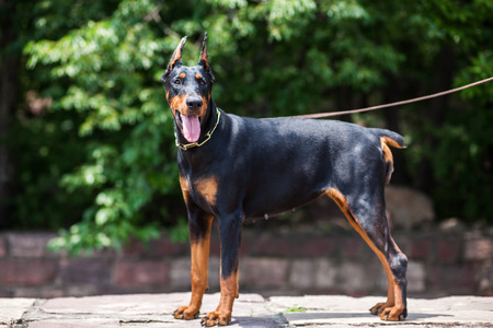 The Doberman Pinscher, a good guard dogs, this is an adult female dog