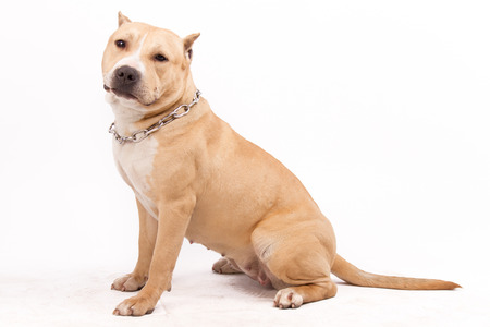 householder:  American Staffordshire Terrier,On a white background Stock Photo