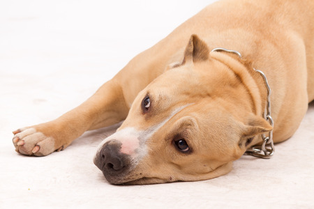 gardian:  American Staffordshire Terrier,On a white background Stock Photo