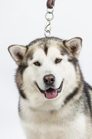 alaskian: Alaska sled dog, on white background Stock Photo