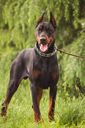 The Doberman Pinscher, a guard dog Фото со стока