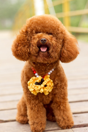A brown poodle, in the park