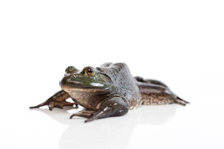 amphibia: A wild bullfrog, lying on the white background paper