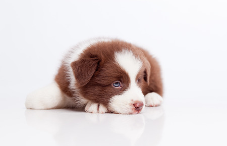 Border collie puppy, on a white background Stock Photo