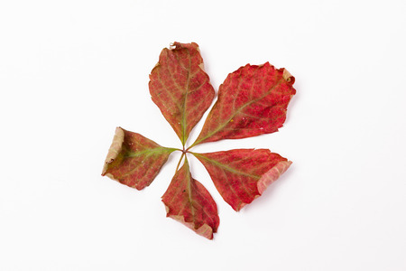 sere: A sere leaf, put on a white background