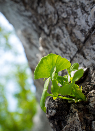fresh ginkgo leaves in spring photo