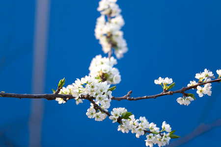 The peach blossom, a sign of spring photo