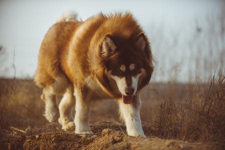 Alaska dog, red and white hair Stock Photo