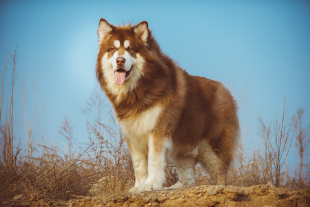Alaska dog with red and white hair