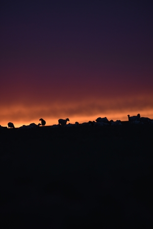goats during sunset at Inner Mongolia, China Stock Photo - 88534130