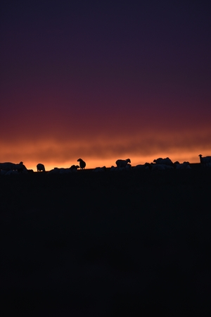 goats during sunset at Inner Mongolia, China Stock Photo