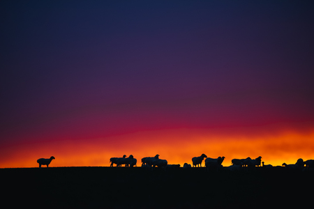frontier: Shooting goats under the setting sun, Inner Mongolia, China