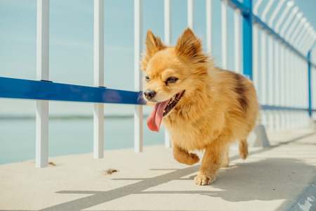 Close up view of a Pomeranian breed dog