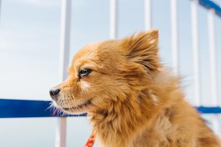 Pomeranian, a lovely golden dog