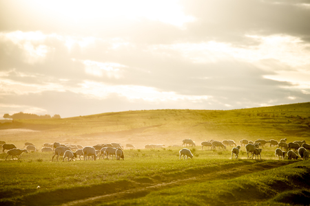 mongols: The flock of sheep under the setting sun in Mongolia