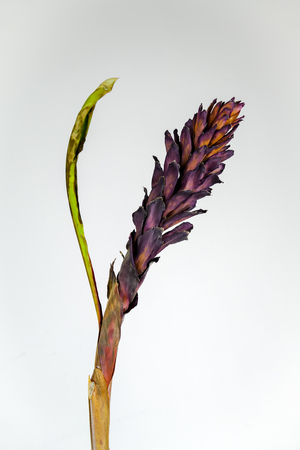 Dried dead tropical red ginger (Alpinia purpurat) flower on isolate white background. Close up.