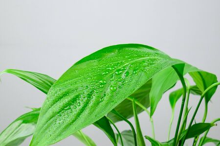 Houseplant - Spathiphyllum floribundum (Peace Lily). Water droplets on the green leaves with selective focus.