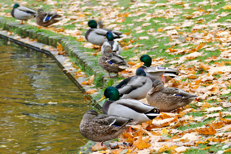 Wild ducks sleeping at the city park next to the park lake. Autumn season.