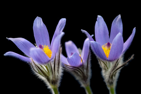 gaudy: Pasque flower with black background.