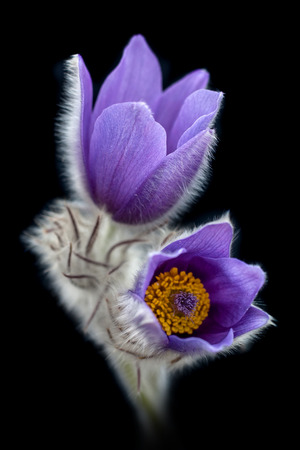 pasque: Pasque flower with black background.