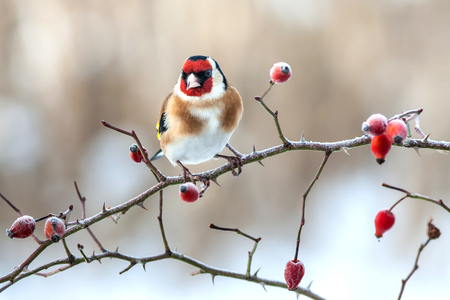 red animal: European Goldfinch with frozen red rose hips.