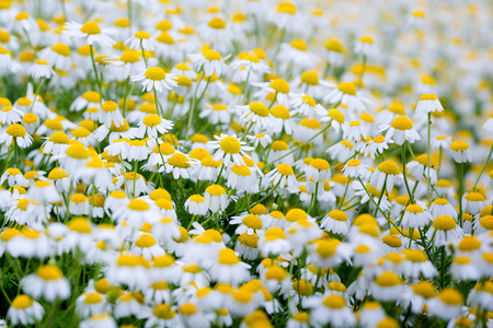 camomile: Field of white camomile flowers.