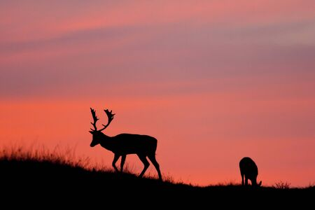 fallow deer: Fallow deer silhuette with a colorful sunset. Stock Photo