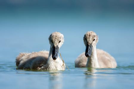 ugly duckling: Cygnet - Swan babys in blue lake.