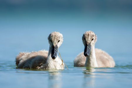 cygnet: Cygnet - Swan babys in blue lake.
