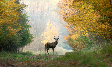 white tailed deer: Young red deer on autumn background.