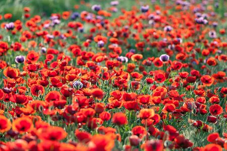 poppy field: Landscape of poppy flower field.