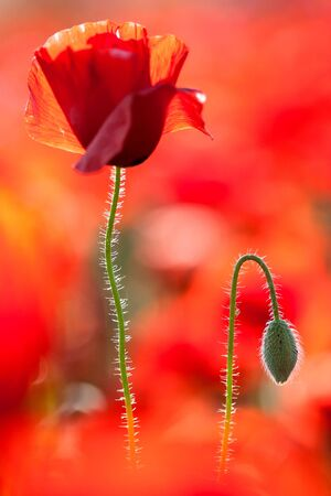 red poppy: Red poppy flower with backlight.