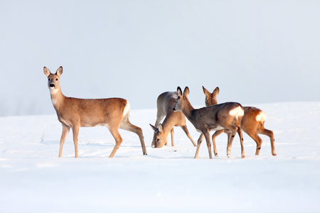 Roe deer group in winter in a sunny day.