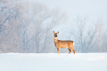 Deer in winter in a sunny day.