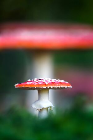 muscaria: Amanita muscaria, a poisonous mushroom in the forest.