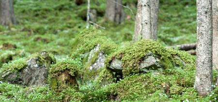 Mossy Pine Forest.