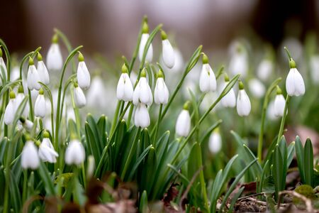 Snowdrops in the spring forest.
